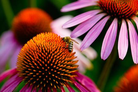 purpurea: Bee drinking coneflower