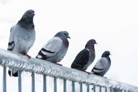 sleet: Pigeons on a fence full of sleet and ice Stock Photo