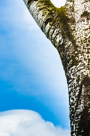 tree detail: Birch tree detail with blue sky and white cloud Stock Photo