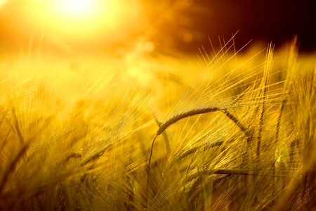 cosecha de trigo: Campo de la cebada en el brillo dorado del sol de la tarde Foto de archivo