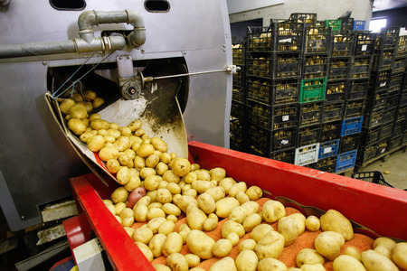 Cleaned potatoes on a conveyor belt, prepared for packing Stock Photo