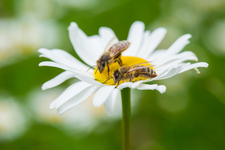 non urban: Bees sucking nectar from daisy flower