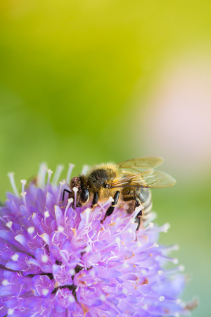 bee on flower: Bee sucking nectar from scabiosa flower on a sunny spring day Stock Photo