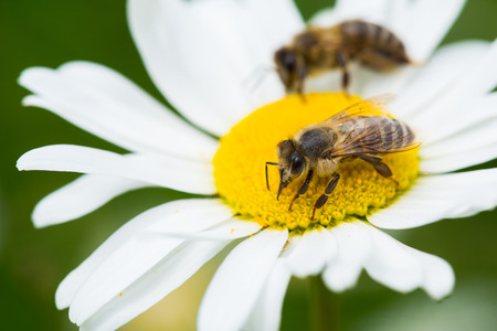 Bees sucking nectar from daisy flower photo