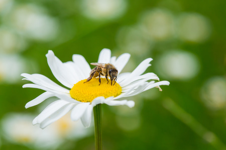Bee sucking nectar from daisy flower photo