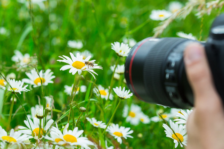 Macro photographer photographing bee sucking nectar from daisy flower in spring meadow photo