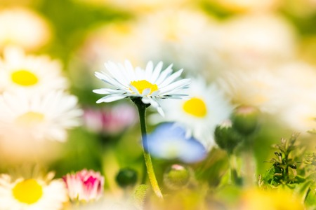Beautiful daisy in spring meadow photo