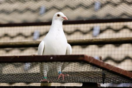 symbolism: White dove on a breeding cage, peace symbolism Stock Photo