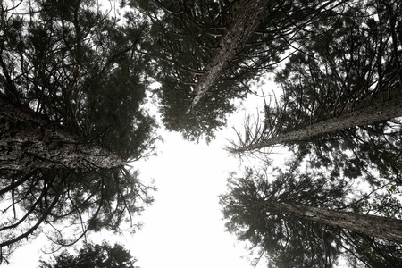 treetops: A group of pine treetops from below Stock Photo