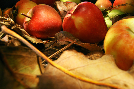 albero di mele: Raccolta di belle mele in mezzo fogliame Archivio Fotografico