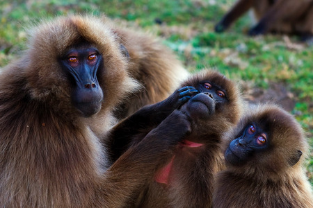 Family of gelada baboons (Theropithecus gelada) socializing and picking eachother photo