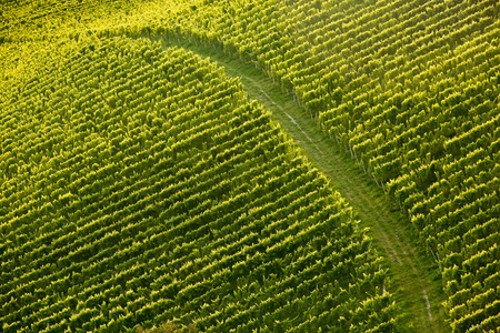 slovenia: Vine rows in perfect sunlight with dirt road dividing the vineyard from air, background