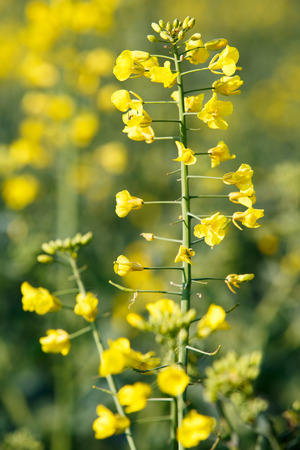 biodiesel: GMO rapeseed plant on a huge field for production of biodiesel, close-up