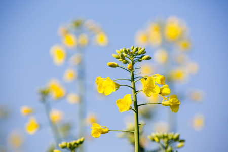 biodiesel plant: GMO rapeseed plant on a huge field for production of biodiesel, close-up