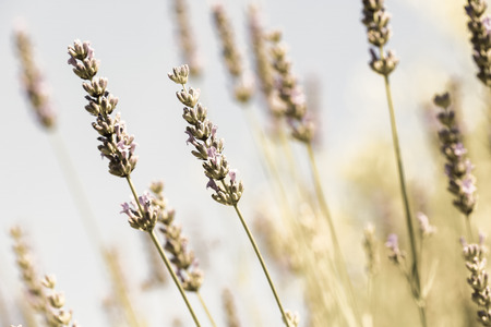 Field of fresh lavender (Lamiaceae plant family), vintage