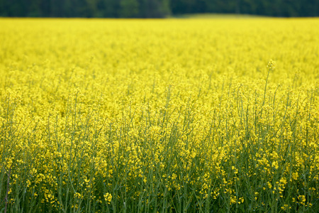 biodiesel: Huge field of GMO rapeseed for production of biodiesel