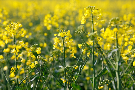 derivation: GMO rapeseed plants on a huge field for production of biodiesel
