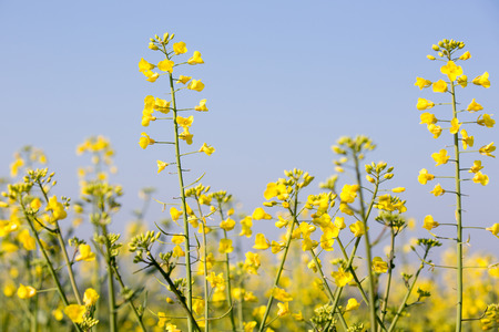 biodiesel: GMO rapeseed plants on a huge field for production of biodiesel