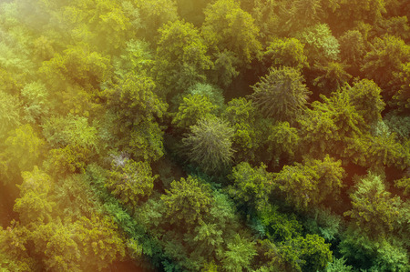 birds eye view: Healthy green forest from air in golden sunshine, sun rays falling on the canopy
