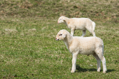 Lambs grazing on a green pasture; organic breeding concept. photo