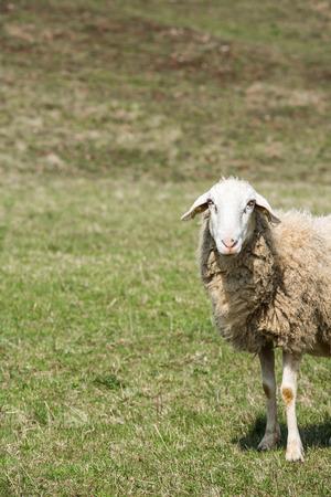 Sheep grazing on a green pasture; organic breeding concept. photo