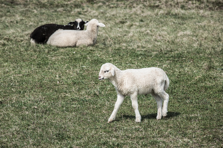 Sheep and lambs grazing on a green pasture; organic breeding concept. photo