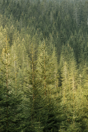industry park: Healthy, green coniferous forest with old spruce, fir and pine trees in wilderness area of a national park, lit by golden sunshine. Sustainable industry, ecosystem and healthy environment concepts. Stock Photo