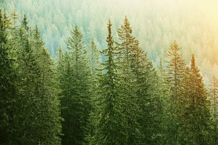Gezonde, grote groene naaldbomen in een bos van oude sparren, sparren en dennen bomen in de wildernis gebied van een nationaal park, verlicht door felle gele zonlicht. Duurzame industrie, ecosysteem en gezonde omgeving concepten.