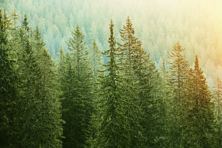 evergreen branch: Grandes árboles sanos, verde de coníferas en un bosque de piceas, abetos y pinos viejos en zona de desierto de un parque nacional, iluminado por la luz del sol de color amarillo brillante. Industria sostenible, los ecosistemas y los conceptos de medio ambiente sano. Foto de archivo