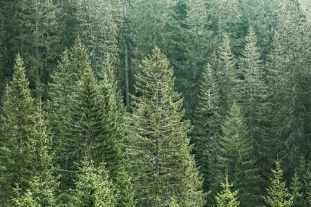 wilderness area: Healthy, green coniferous forest with old spruce, fir and pine trees in wilderness area of a national park. Sustainable industry, ecosystem and healthy environment concepts.