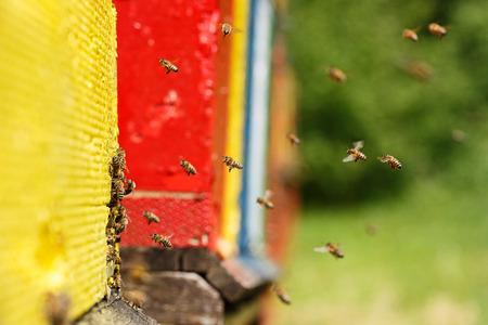 recursos naturales: Abejas domesticadas en vuelo, que regresan a su apiario, con lo que el néctar de miel orgánica y alimentos para la colonia de abejas y la abeja reina. Sana, la nutrición orgánica y conceptos de recursos naturales.