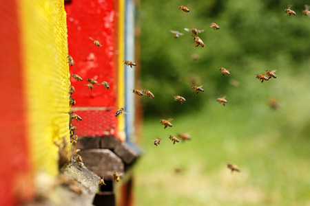 Domesticated honeybees in flight, returning to their apiary, bringing nectar for organic honey and food for bee colony and queen bee. Healthy, organic nutrition and natural resources concepts.