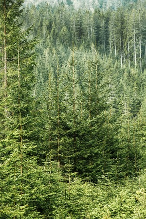 wilderness area: Healthy, big green coniferous trees in a forest of old spruce, fir and pine trees in wilderness area of a national park. Sustainable industry, ecosystem and healthy environment concepts.