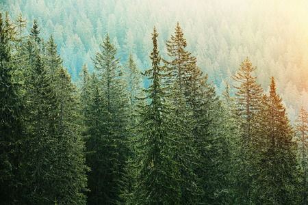 Healthy, big green coniferous trees in a forest of old spruce, fir and pine trees in wilderness area of a national park, lit by bright yellow sunlight. Sustainable industry, ecosystem and healthy environment concepts.