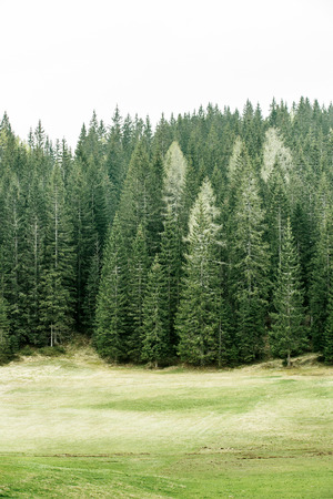 treetop: Healthy coniferous trees in forest of old spruce, fir, larch and pine trees in wilderness area with alpine pasture in the foreground. Sustainable industry, ecosystem and healthy environment concepts.