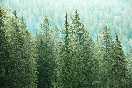 ecosistema: Grandes árboles sanos, verde de coníferas en un bosque de piceas, abetos y pinos viejos en zona de desierto de un parque nacional. Industria sostenible, los ecosistemas y los conceptos de medio ambiente sano. Foto de archivo