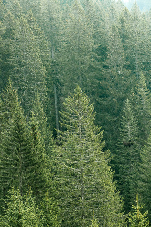 industry park: Healthy, big green coniferous trees in a forest of old spruce, fir and pine trees in wilderness area of a national park. Sustainable industry, ecosystem and healthy environment concepts.