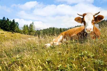 Freely grazing domestic and healthy cow on an idyllic sunny summer mountain pasture. Free range, organic cattle farming and agriculture concept.