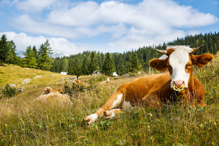 cattle grazing: Freely grazing domestic and healthy cows on an idyllic sunny summer mountain pasture wit alpine cottages in the background. Free range, organic cattle farming and agriculture concept. Stock Photo