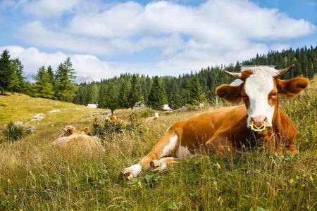 Libremente pastando vacas domésticas y saludables en un idílico soleado de montaña de verano los pastos alpinos del ingenio de las casas en el fondo. Granja de cría, la ganadería orgánica y concepto de la agricultura.