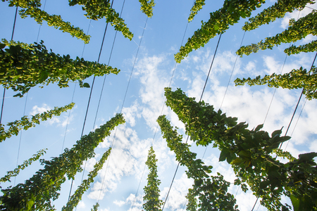 common hop: Common hop (Humulus lupulus) from below against blue sky, ripe for picking and used as raw material for beer production. Organic agricultural industry, beer production, raw materials concept.