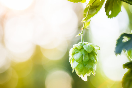 hop hops: Close-up of common hop cone in soft light, ripe for picking and used as raw material for beer production (Humulus lupulus). Organic, clean agricultural industry, beer production, raw materials concept.