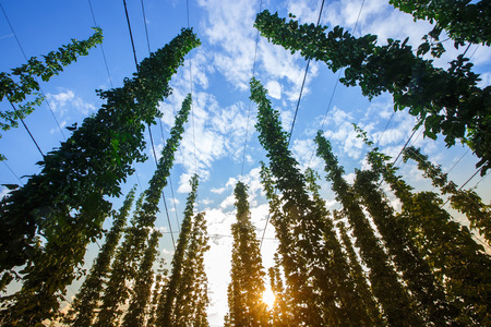 common hop: Common hop (Humulus lupulus) from below against blue sky, lit by sunlight, ripe for picking and used as raw material for beer production. Organic agricultural industry, beer production, raw materials concept. Stock Photo