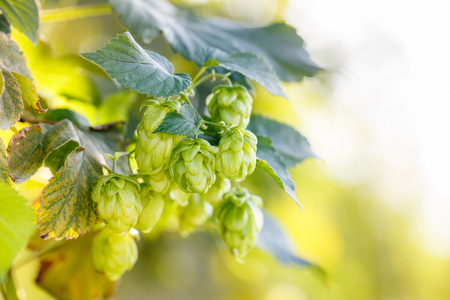common hop: Common hop cones, ripe for picking and used as raw material for beer production (Humulus lupulus). Organic, clean agricultural industry, beer production, raw materials concept.