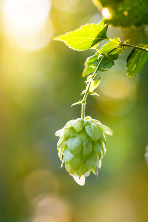 common hop: Close-up of common hop cone in soft light, ripe for picking and used as raw material for beer production (Humulus lupulus). Organic, clean agricultural industry, beer production, raw materials concept.