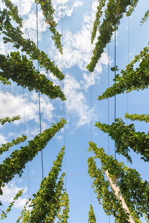 hop hops: Common hop (Humulus lupulus) from below against blue sky, ripe for picking and used as raw material for beer production. Organic agricultural industry, beer production, raw materials concept.