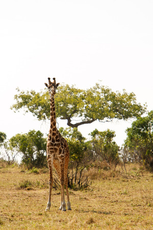 predators: Giraffe Giraffa camelopardalis in dry African savanna on a lookout for predators with bush in the background. Wildlife observation and conservation, tourist safari, animals in the wild concept. Stock Photo
