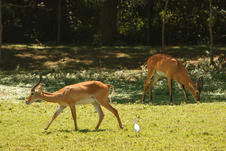 conservation grazing: Impalas Aepyceros melampus grazing on fresh grass in African bush. Wildlife observation and conservation, tourist safari, animals in the wild concept.