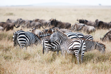 tanzania antelope: Herd of wildebeest and zebra grazing together on grasslands of African savanna, seasonally migrating for food. Wildlife observation and conservation, tourist safari, overland trip concept. Stock Photo