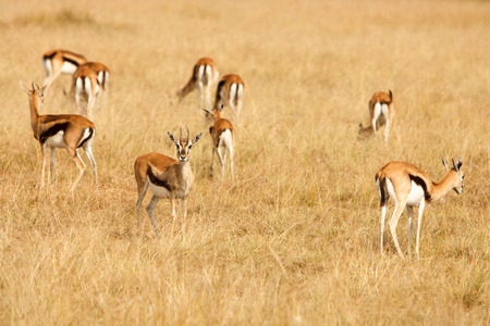 conservation grazing: Young Thomsons gazelles Eudorcas thomsonii in a group, grazing on grass of African savanna. Wildlife observation and conservation, tourist safari, animals in the wild concept. Stock Photo